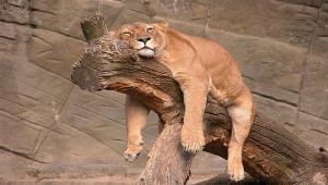 lion qui dore